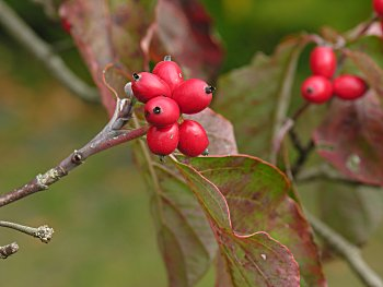 Image result for Cornus florida fruit and berries