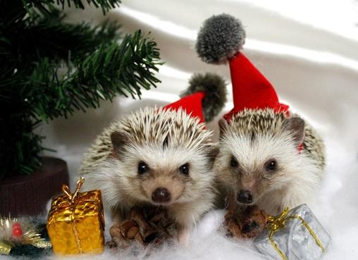 Image result for christmas hedgehog