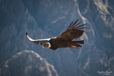 Flying condor in the Colca Canyon