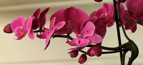 cropped-orchid-1357032_1920