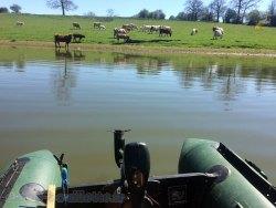 Vaches et leurs veaux à Rabodanges.