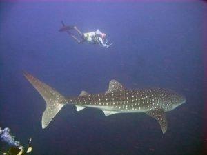 Whaleshark 4 ibbe