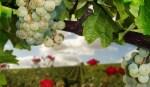 Alla scoperta dei vitigni: il Sauvignon Blanc