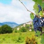 Alla scoperta dei vitigni: il Tintilia