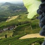 Alla scoperta dei vitigni: il Dolcetto.