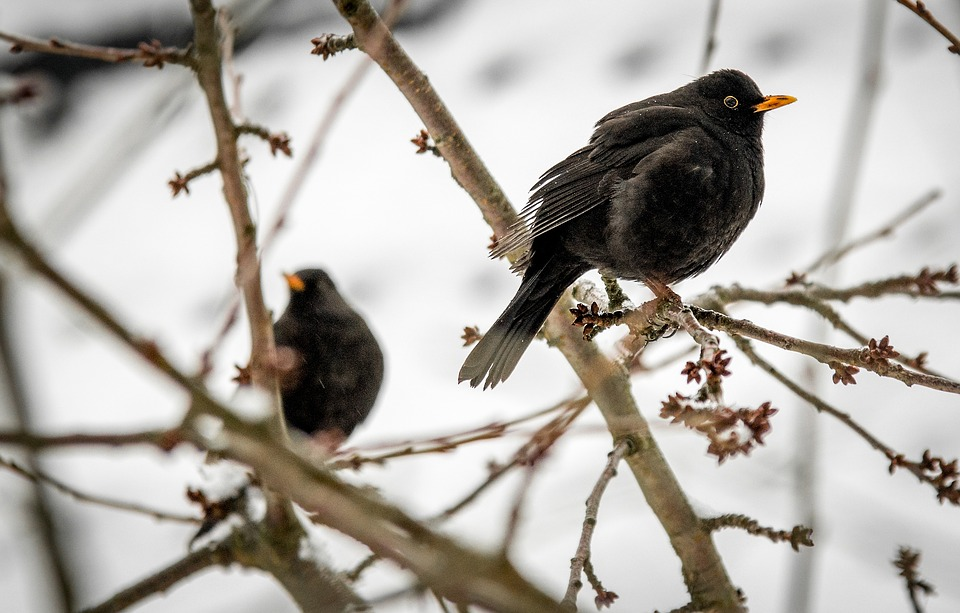 Blackbirds in winter