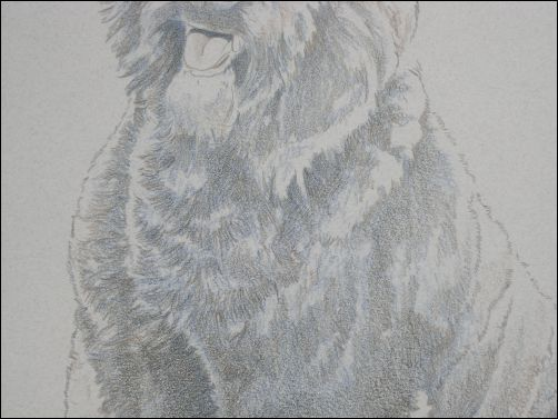 How to Draw a Dog in Colored Pencil Part 2 - Dark Brown Layer Detail 2
