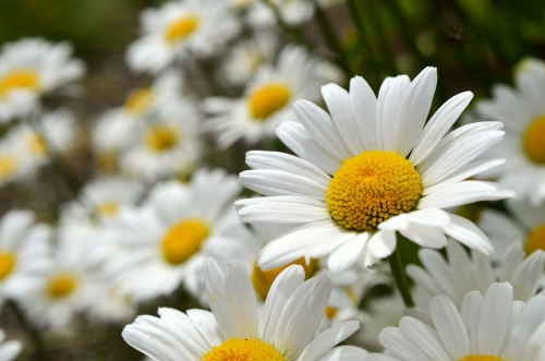 What is a Bokeh Background Blurred Daisies