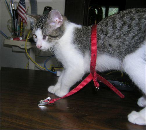 Kitten Update - Basil Wearing the Harness