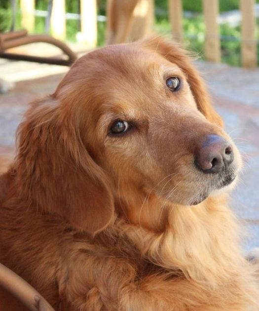 How to Draw a Golden Retriever - The Reference Photo