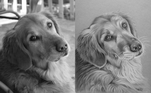 How to draw a Golden Retriever - comparing the reference photo and portrait in black-and-white to check values.
