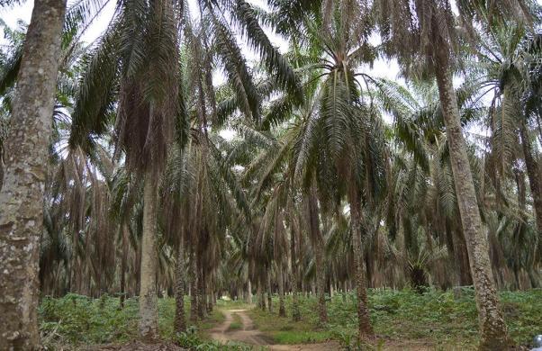 plantacion_Dibombari_peq