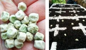 Peas - kelvedon wonder
