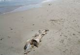 Atunes muertos en las playas de La Manga