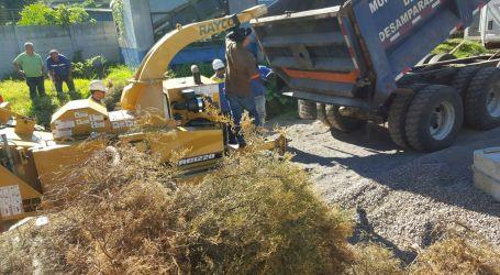 Municipalidad de Cartago recolectará árboles de navidad para ser reciclados