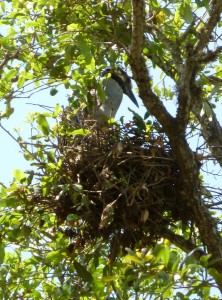 The Very Regal Yellow Crowned Heron and its Chicks