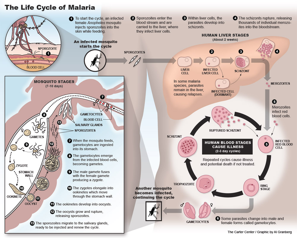 hight resolution of  malaria life cycle pdf