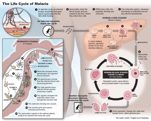 small resolution of  malaria life cycle pdf