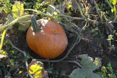 PumpkinPicking (10 of 19)