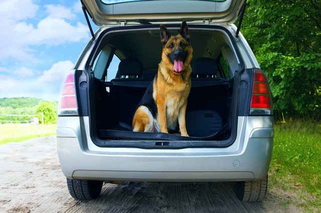 Dog in an SUV