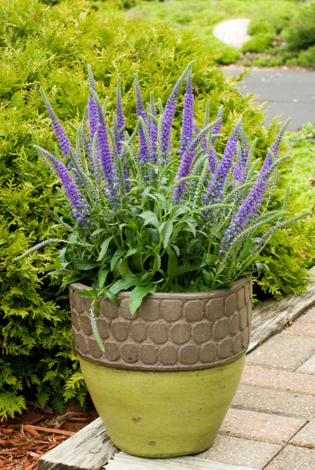 Walters Gardens Veronica Hocus Pocus