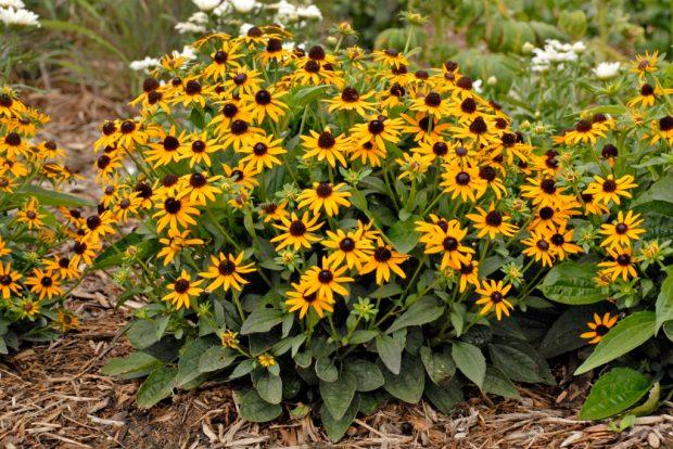 Walters Gardens Rudbeckia fulgida varsullivantii Little Goldstar