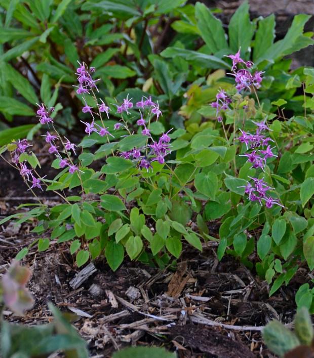 Walters Gardnes Epimedium Gradiflorum Lilafee