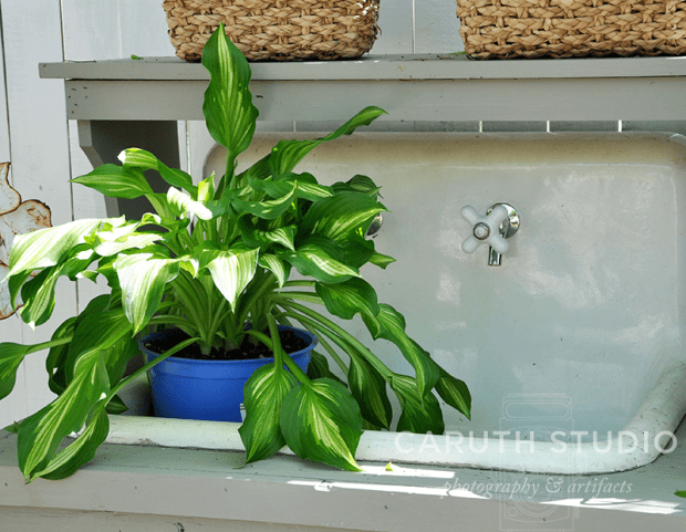 Vintage cast-iron sink with a watered hosta in a pot