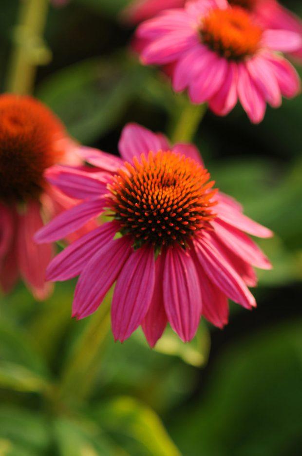 Echinacea-PowWow-WildBerry-7184-KieftSeed