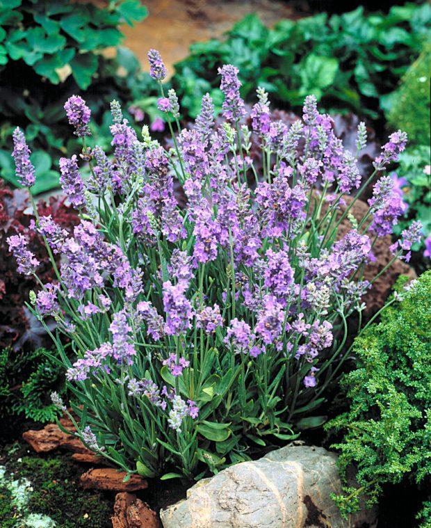 Lavender-Ellagance-Sky-10832-KieftSeed