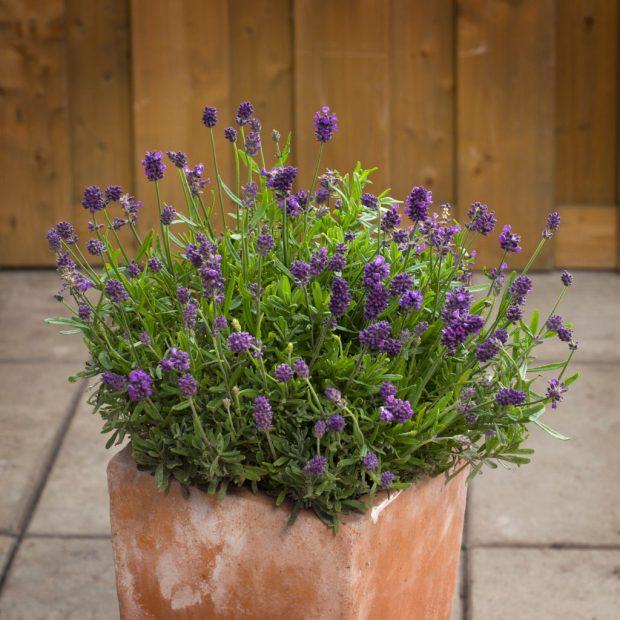Lavender-MiniBlue-13176-KieftSeed