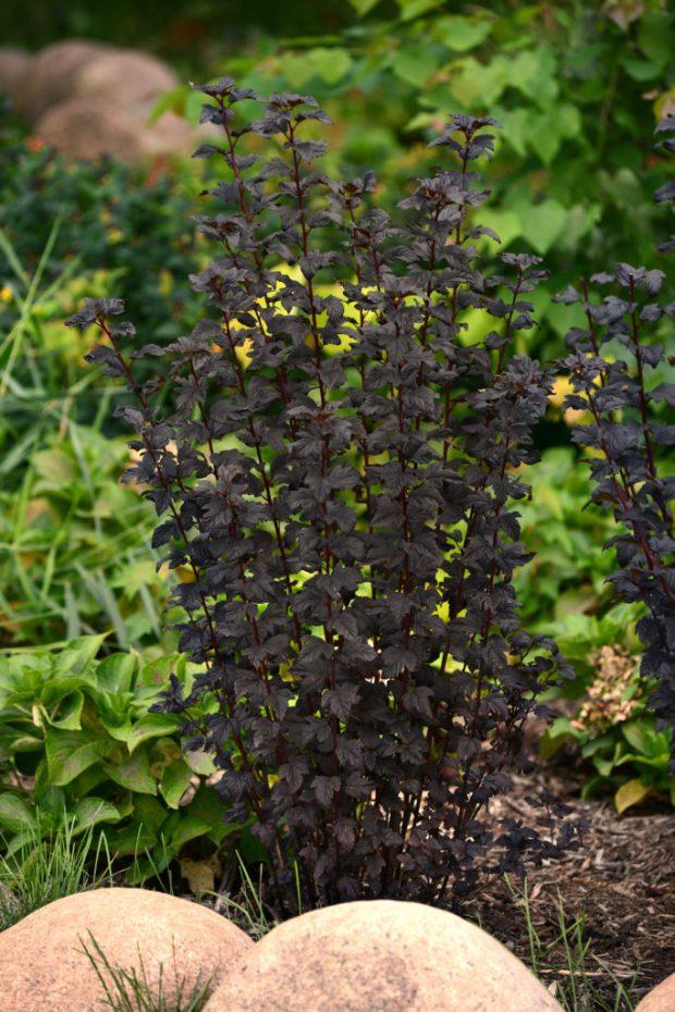 Physocarpus-BurgundyCandy-18309-BallOrnamentals