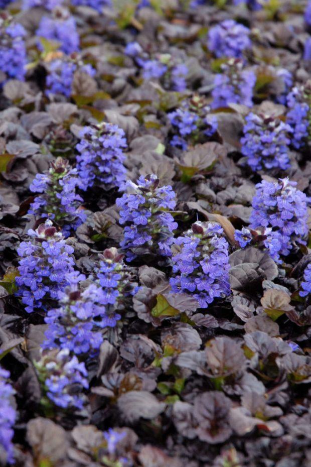 Ajuga Black Scallop bloom