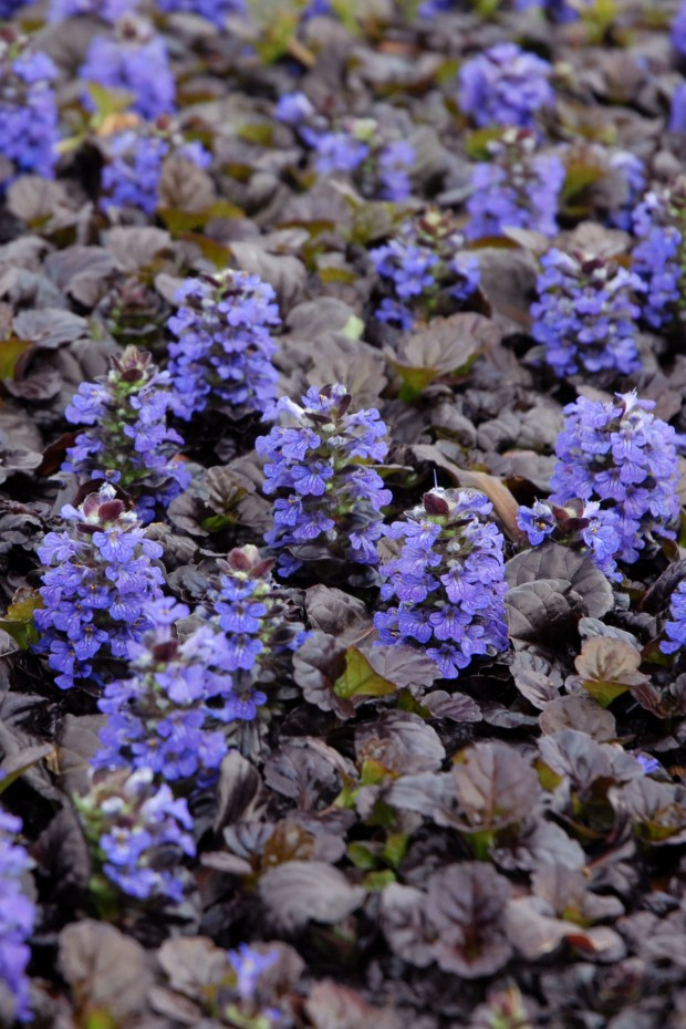 Ajuga Black Scallop bloom