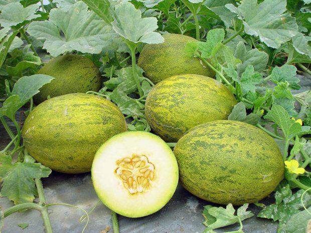 Lambkin Melons