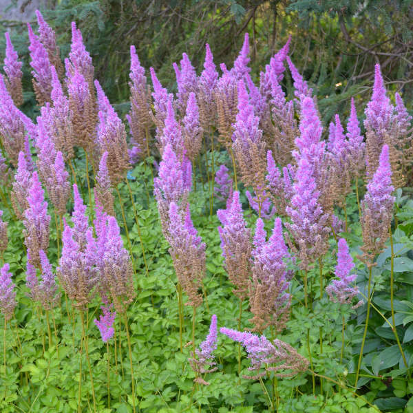 Walters_Astilbe chinensis 'Purple Candles'
