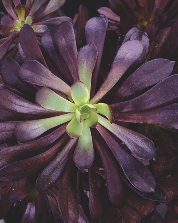 zwartkop plant in deep purple