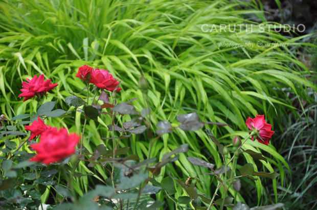 Ornamental grass and roses