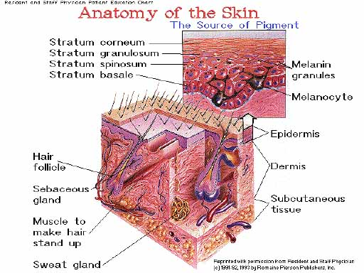 integumentary system diagram labeled blank of photosynthesis in steps skin.htm
