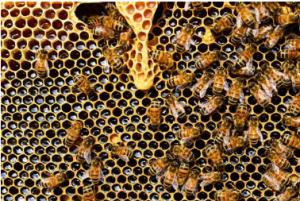 honey making bees
