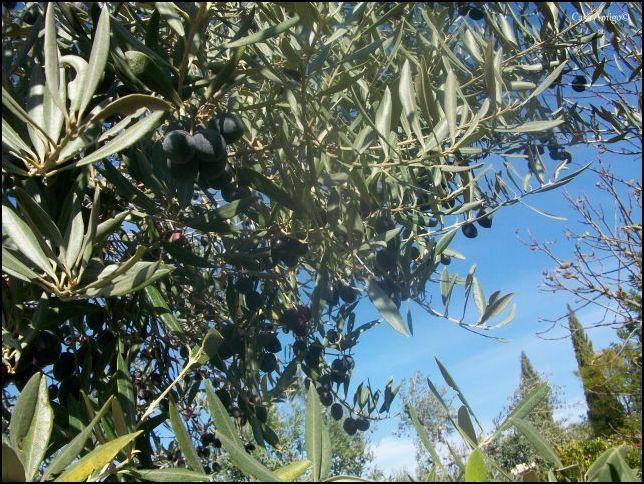 Olijven van Casa Amigo