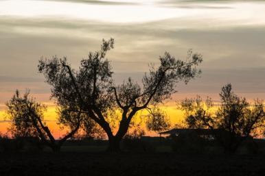 Tramonto sugli alberi di olivo