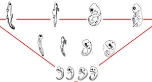 Três momentos da ontogenia de diferentes vertebrados (esq. para dir.: peixe, anfíbio, tartaruga e ave).
