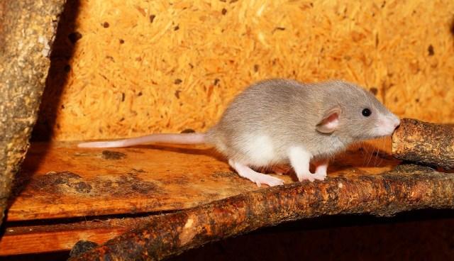 Ratos voltaram a andar e recuperaram sensibilidade (Foto: Pixabay)