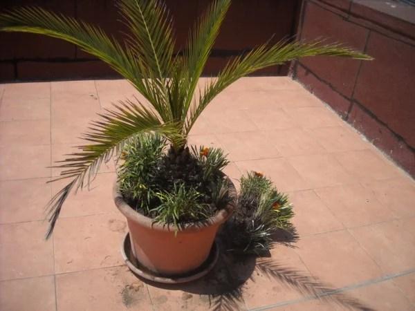 Rinvaso palme nane