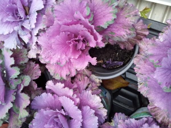 Cavolo ornamentale coltivazione