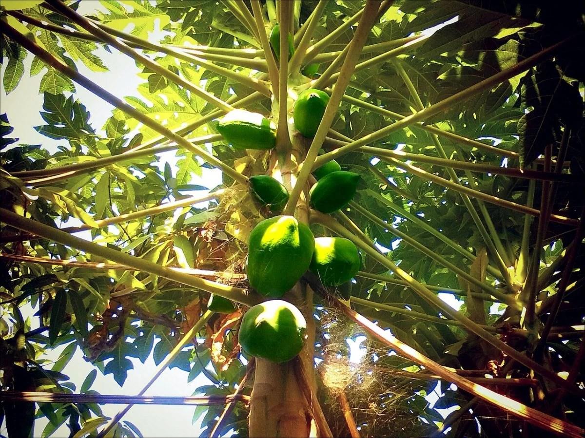 Papaya  Carica papaya
