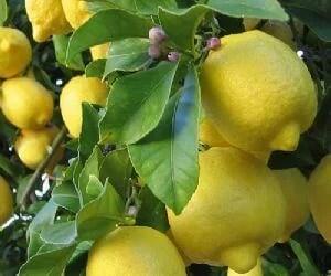 Las propiedades del limon