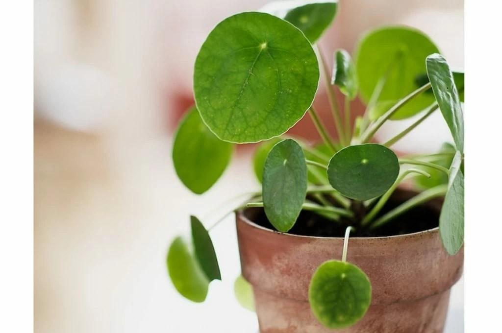 Scopri la Pilea Peperomoides la pianta che fa impazzire