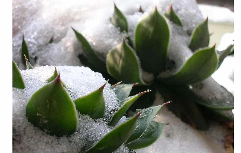 SOS piante grasse colpite dal gelo  CASAfacile
